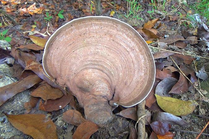 Dlium Artist's bracket (Ganoderma applanatum)
