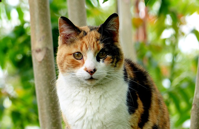 Kucing Calico
