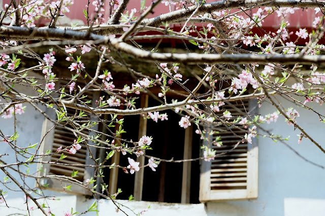 See beautiful late blooming peach blossom on Dong Van stone plateau 2