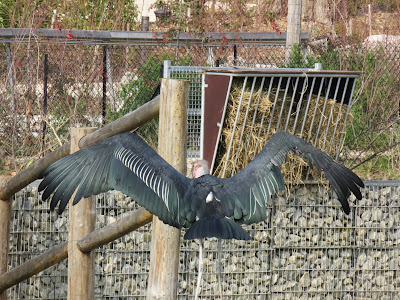 Very Large Bird Stretching His Wings at Paris Zoo