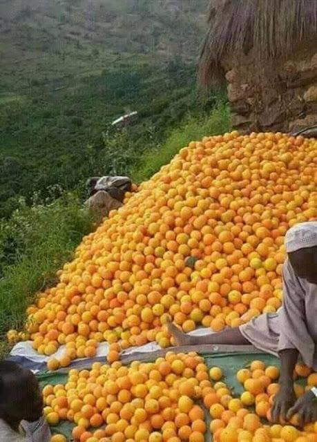 صور جميلة من منطقة جبل مرة غرب السودان حصاد الحمضيات