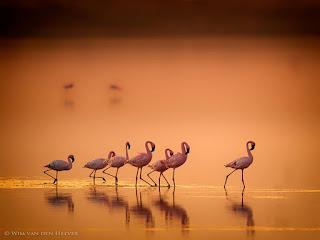 flamencos-caminando-por-la-laguna