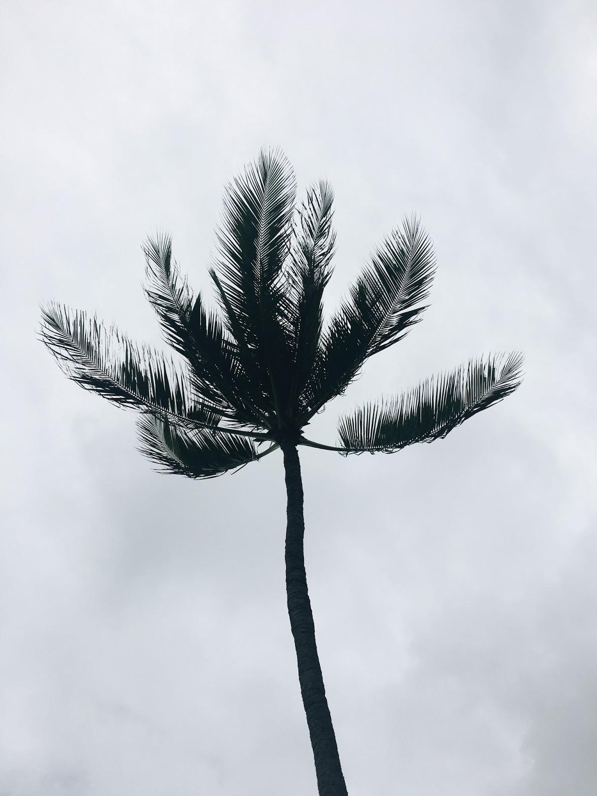 silhouette palm tree hawaii