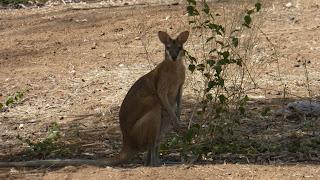Brykające kangury
