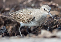 White-rumped sandpiper – Deadman's Bay, NL – photo by Silver Leapers