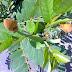 Tips mengobati panu dengan daun ketapang