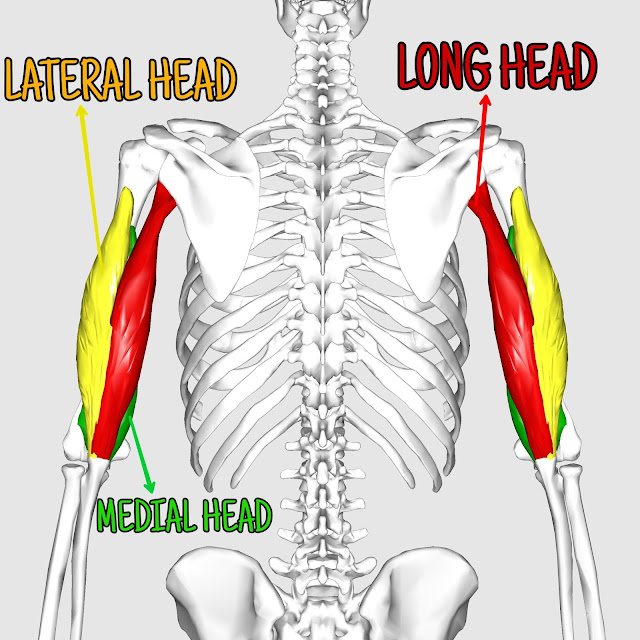 Anatomy of triceps | Long head, lateral head, medial head