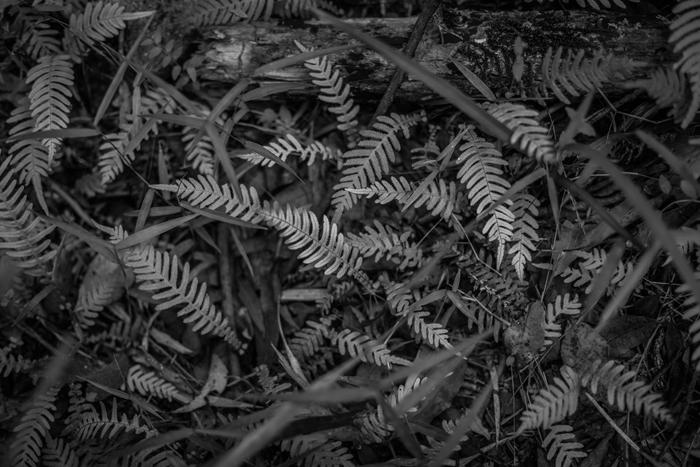 b&w ferns
