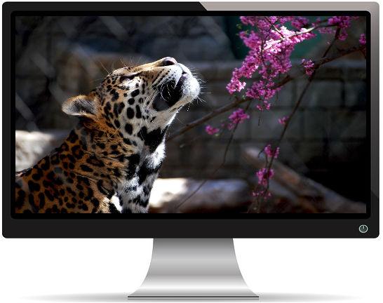 Fauve Regarde Fleurs Roses - Fond d'Écran en Full HD 1080p