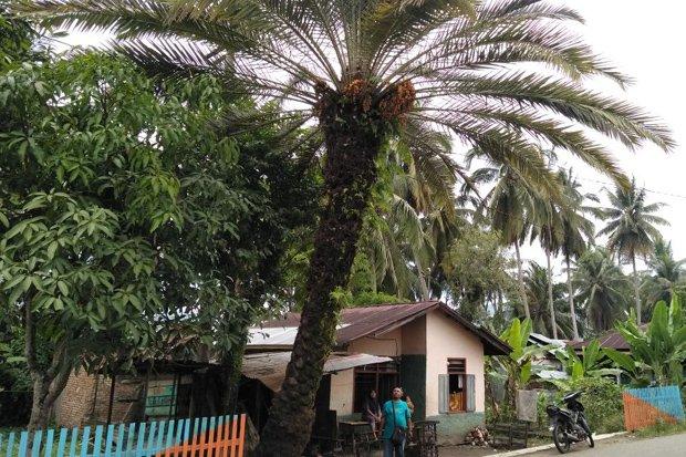 Warga Heboh Lihat Pohon Kurma Berbuah