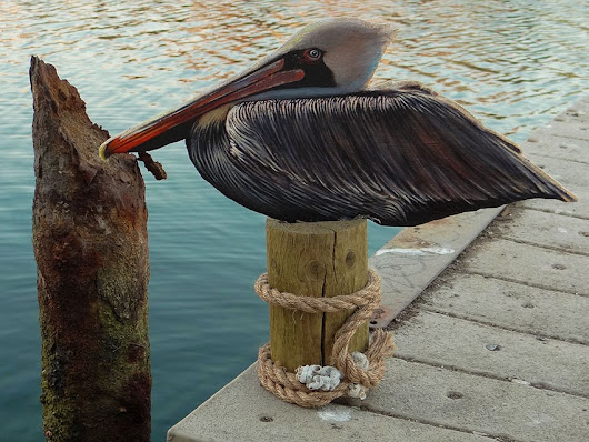 Brown Pelican - Marina Del Rey, California