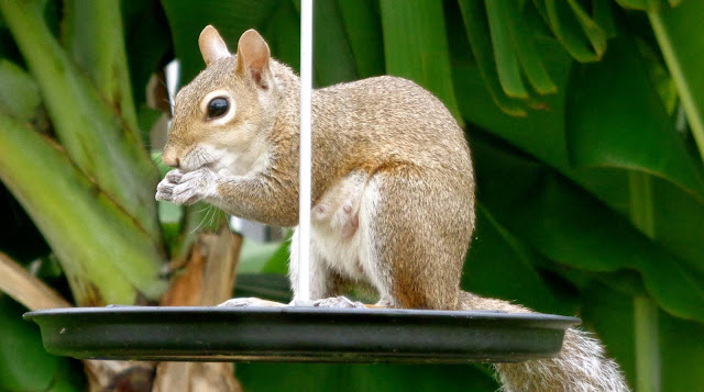 Squirrel, Birdfeeder, ©Colleen M. Dougher, The Invisible Fly