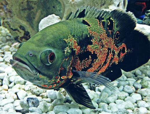 8 Makanan Ikan Oscar Agar Cepat Besar Dan Bagus Untuk Warnanya
