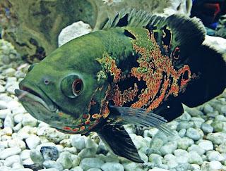 Makanan Ikan Oscar Agar Cepat Besar dan Bagus untuk Warnanya