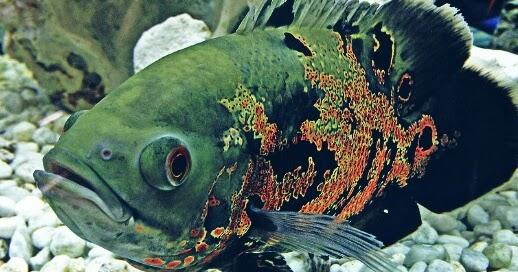8 Makanan Ikan Oscar Agar Cepat Besar Dan Bagus Untuk Warnanya Hobinatang