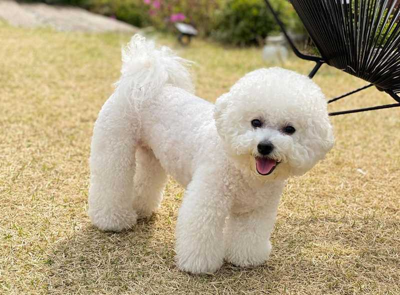 Chicken and Vegetables Diet for Bichon Frise