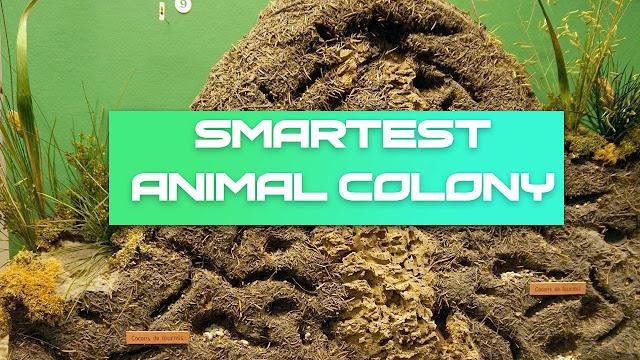 Smartest Animal Colony