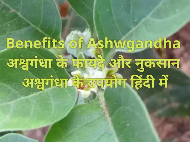 Benefits of Ashwgandha |अश्वगंधा के फायदे और नुकसान |अश्वगंधा के उपयोग हिंदी में