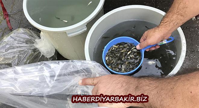 Diyarbakır'daki göletlere 127 bin sazan yavrusu bırakıldı