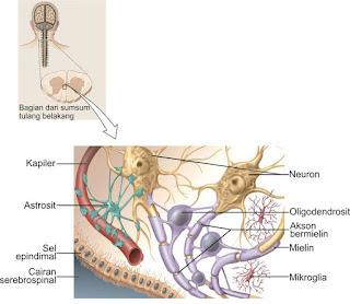 Sel Glia dari sistem saraf pusat