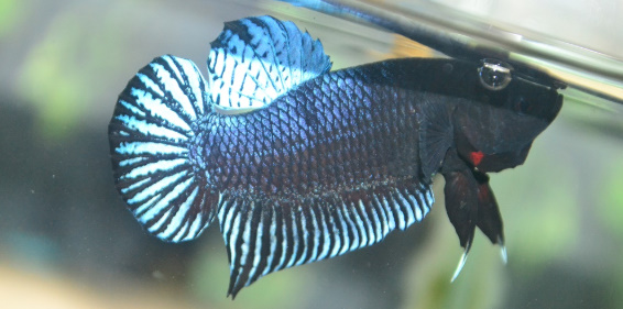 5 Jenis Ikan Cupang Adu Paling Terkenal Congresopopular