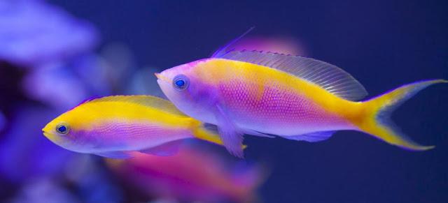 Gambar Ikan Bicolor Anthias - Budidaya Ikan