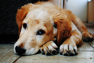 A golden retriever is lying on the floor looking into the camera
