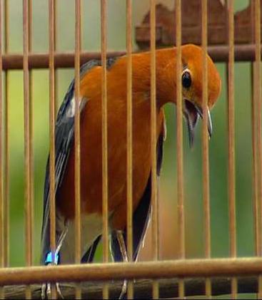 Mp3 suara burung anis merah gacor