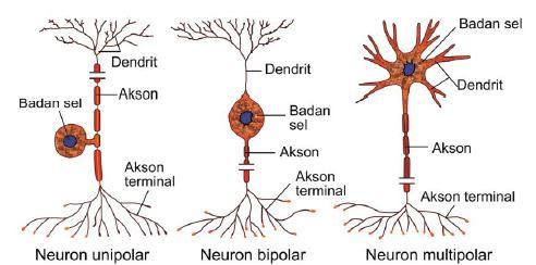 Gambar 10. Macam-macam neuron berdasarkan  percabangan pada badan selnya www.edubio.info