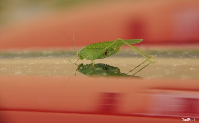 Une sauterelle verte sur une voiture rouge