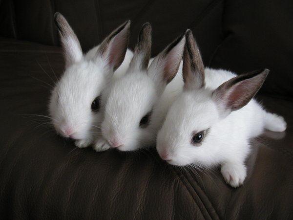 3 Chú Thỏ Con Dễ Thương Nằm Thằng Dài Trên Chiếc Ghế Sofa, Mỗi Chú Thỏ Có  Màu Trắng Với Mắt Bé Tí Ti, Nhìn Chúng Không Hiểu Vì Sao Thẩn Thờ Người ...