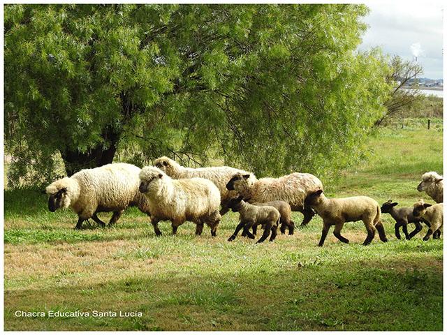 Rebaño de ovejas y corderitos - Chacra Educativa Santa Lucía