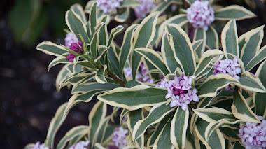 Daphne, arbustos con flores fragantes incluso en invierno