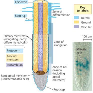 Pertumbuhan primer pada ujung akar