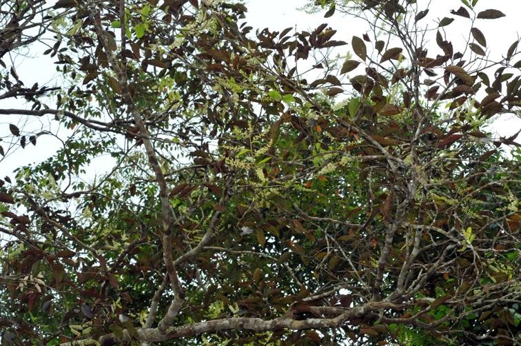 福星花園: 天料木