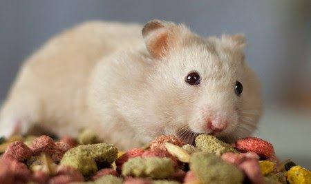 16 Makanan Hamster Alami & Bermerek [Sehat & Mudah Didapat]