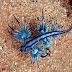 O perigoso dragão-azul