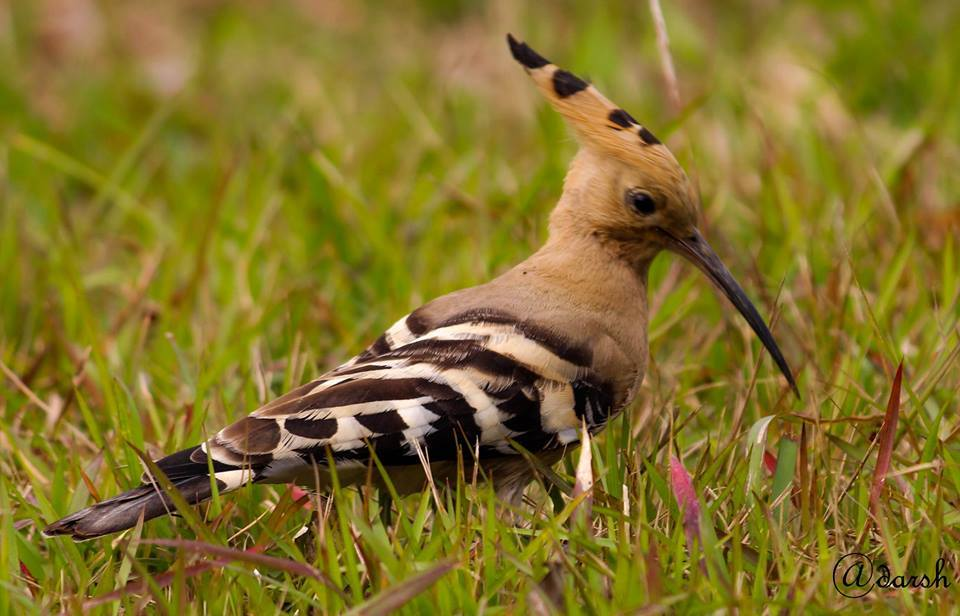 Hoopoe seen at IIT Guwahati campus