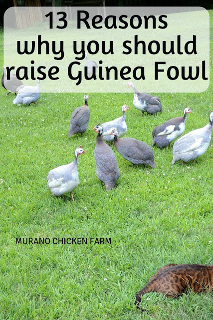 Why raise guinea fowl