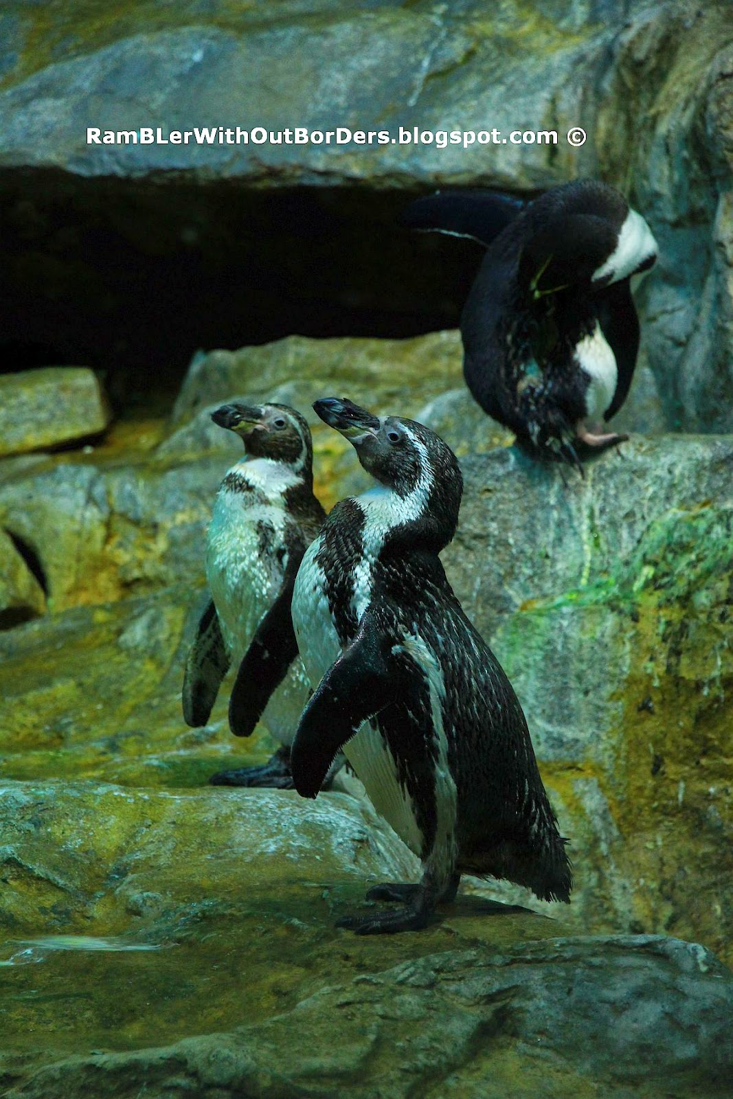 Humbodt Penguins, Jurong Bird Park, Singapore