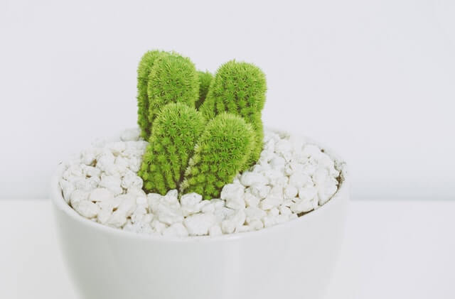 Green Cactus in White Pot HD Copyright Free Image