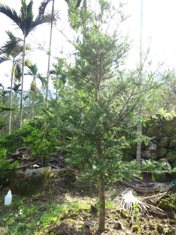 瀞園培養場 庭園/景觀用樹: 油杉