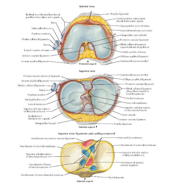 Knee: Interior Views Anatomy
