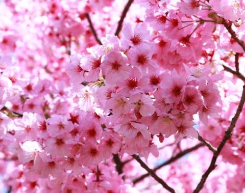 Cara Menggambar Bunga Sakura Langkah Demi Langkah Point Opini Penyedia Point Informasi Terkini