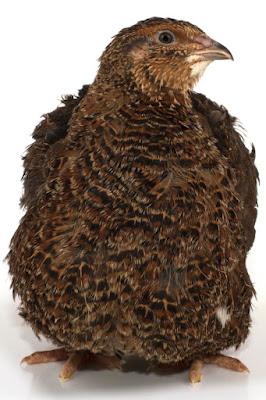 Prepelita este o pasare mica,prepelitele sunt migratoare,prepelita japoneza este crescuta pentru oua,prepelitele traiesc inzonele de campie