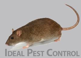 White Rock Rat Control Ideal Pest Control Ltd