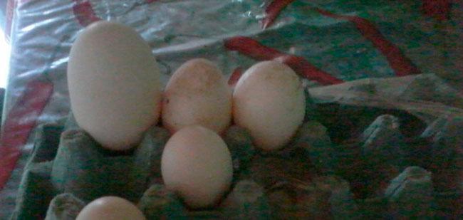 Ovo gigante comparado com ovos normais Foto:  Lúcia Araújo