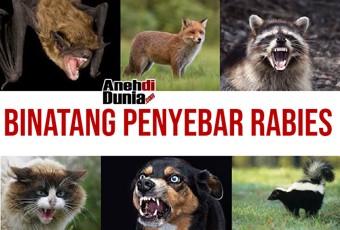 Bintang Penyebar rabies