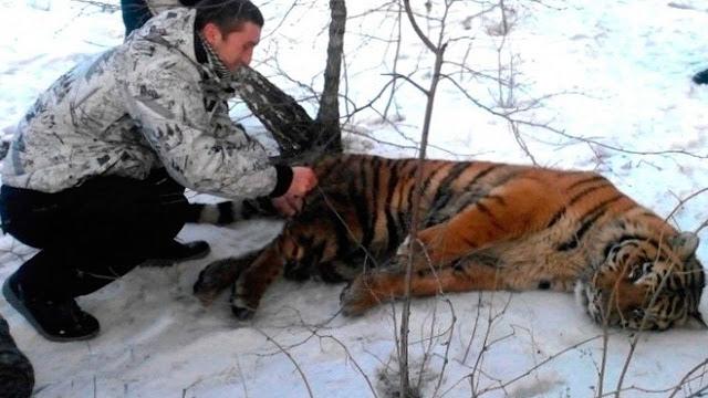 Тигр пришел к людям за помощью в надежде избавится от петли на шее