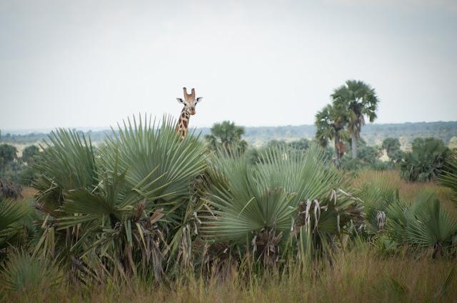 Giraffe; Murchison Falls NP, Uganda